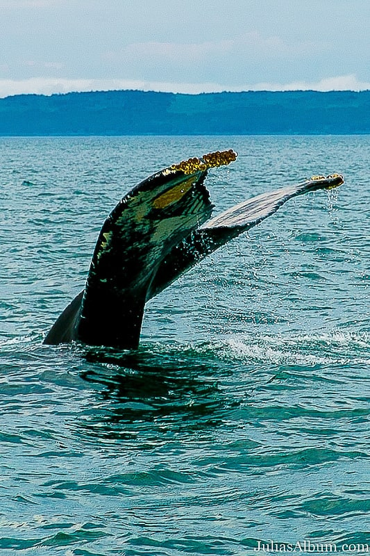 back of the tail, humpback whale Nova Scotia, badge