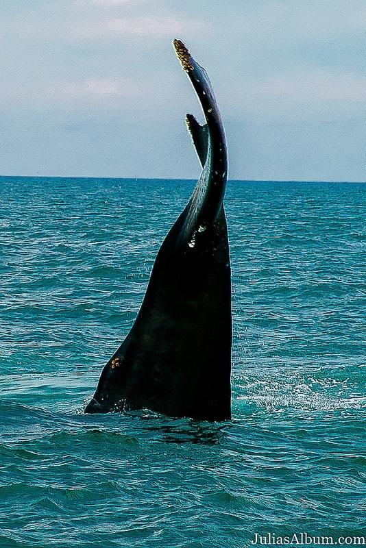 whale jumping, whale breaching, whale tale, travel to Canada, Brier Island, Nova Scotia