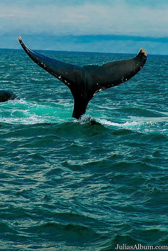 whale tail, whale breaching, humpback whale, Brier Island whale watching, things to do in Canada in the Summer