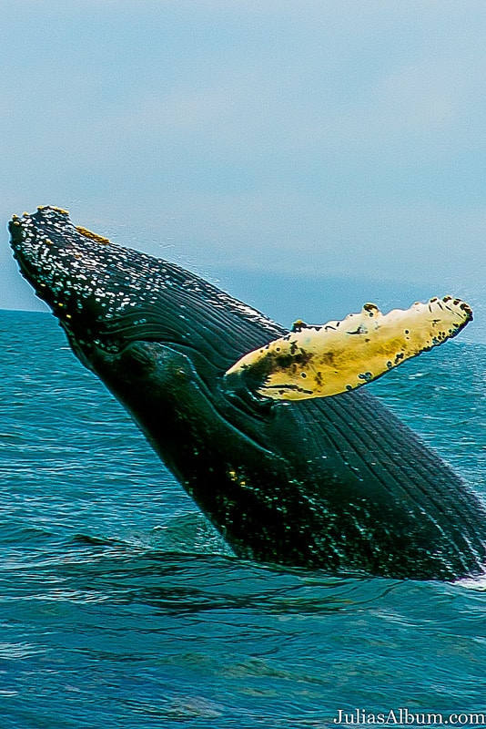 whale breaching, humpback whale, Brier Island in the Bay of Fundy in Digby County, Nova Scotia, Canada