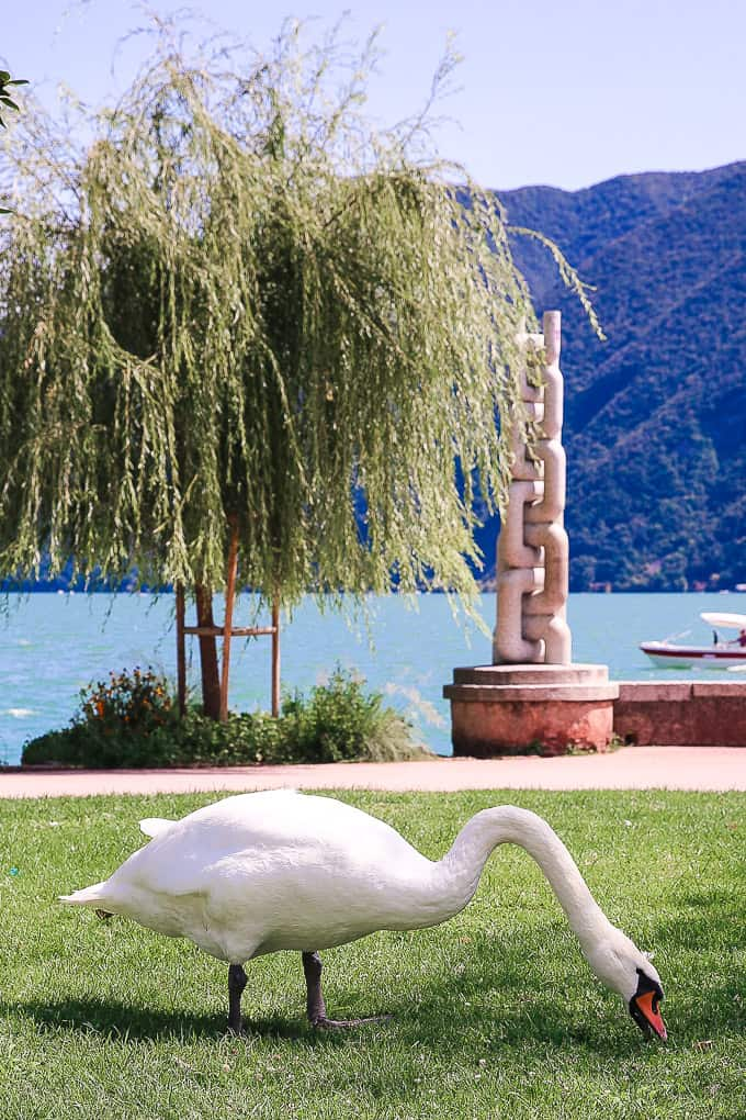 Swans on Lake Lugano, Switzerland