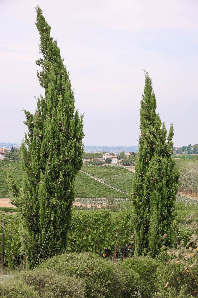 Cypresses at Villa Pattono, Piedmont, Italy