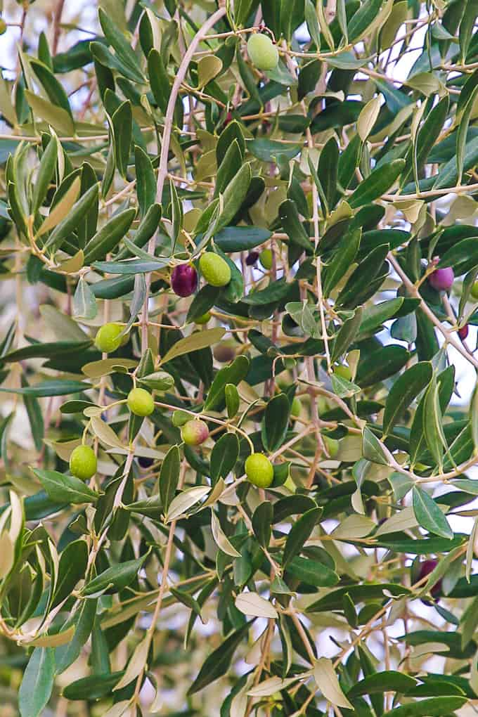 Olive Tree in Tuscany, Italy - Podere Brizio