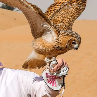 Flying a desert eagle owl in the Dubai Desert Conservation Reserve