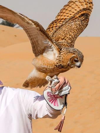 Flying a desert eagle owl in the Dubai Desert Conservation Reserve