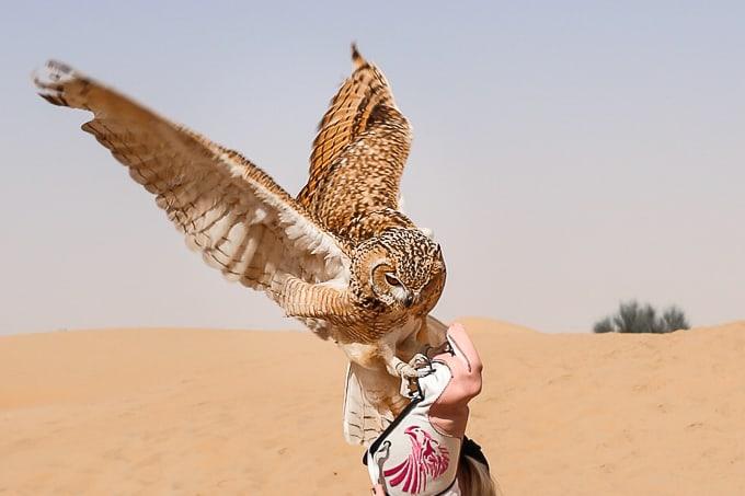 Desert Eagle Owl in the Dubai Desert Conservation Reserve