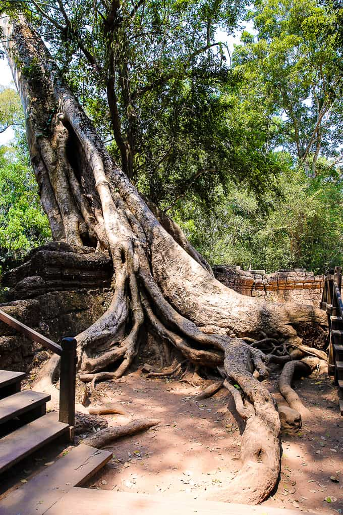 Giant tree roots at Ta Prohm - jungle temple