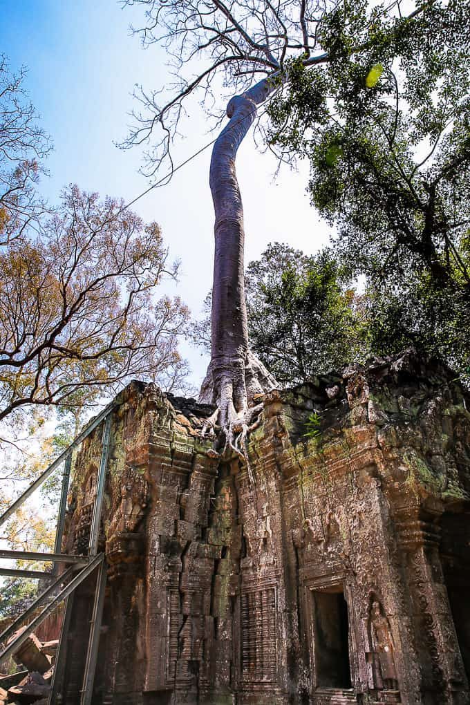 Tree roots growing over the temple structures at Ta Prohm, Cambodia