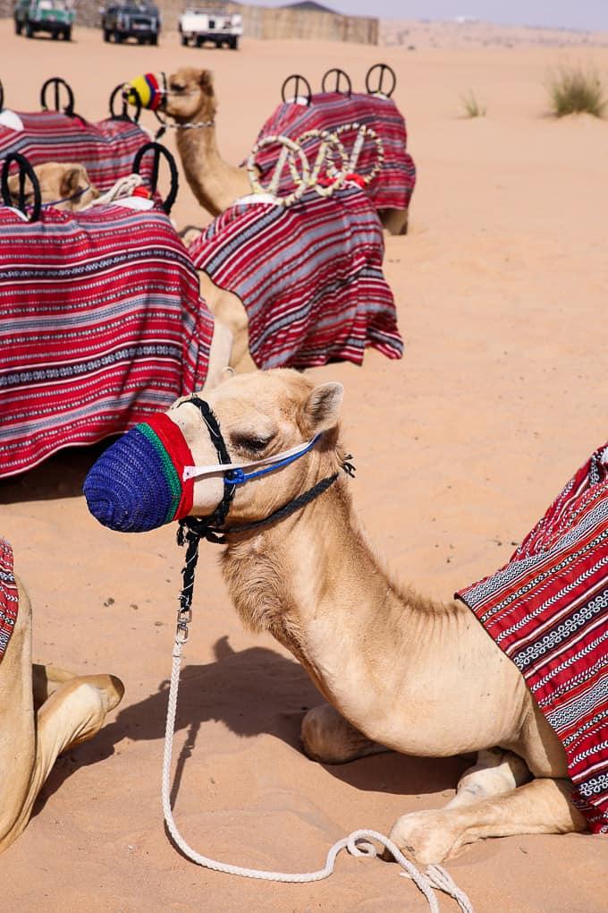 Camels at the Dubai Desert Conservation Reserve