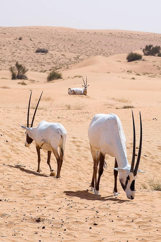 Gazelles in Dubai Desert