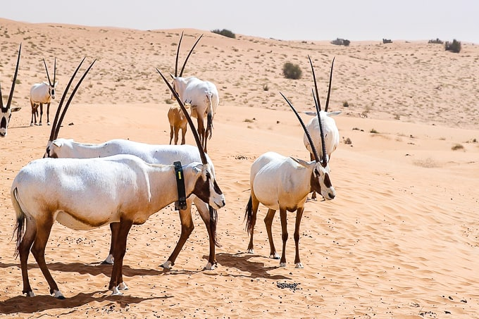 Oryx at the Dubai Desert Conservation Reserve